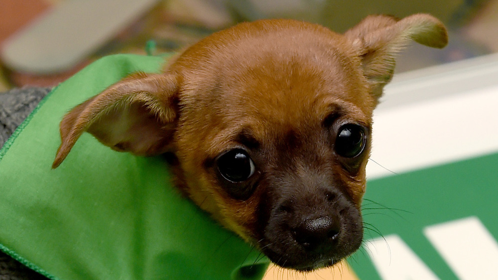 A puppy playing in the Puppy Bowl